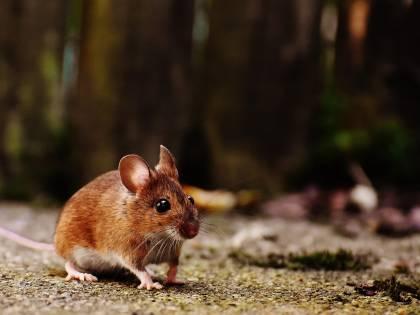 Invecchiamento: invertito il processo nei topi
