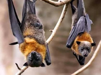 Pipistrelli vivi in un laboratorio di Wuhan: il video che imbarazza l'Oms