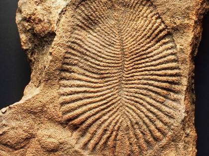 Dickinsonia, ecco l'animale più antico del mondo