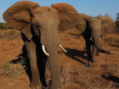 Zimbabwe, turista tedesca muore schiacciata da elefante per un selfie