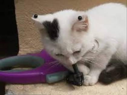 A Sassari gatto con i piercing, interviene la polizia