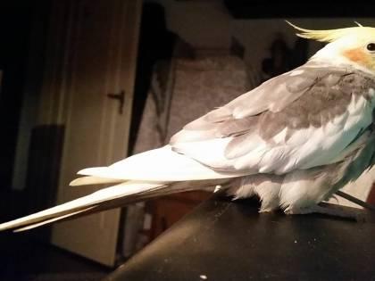 Il pappagallino partigiano ritrovato perché fischietta Bandiera Rossa