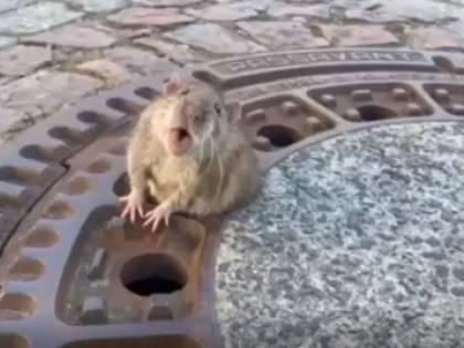 Il topo troppo grasso rimane incastrato nel tombino: viene salvato da sei pompieri