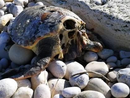 Allarme tartarughe decapitate in Puglia: un nuovo caso a Trani