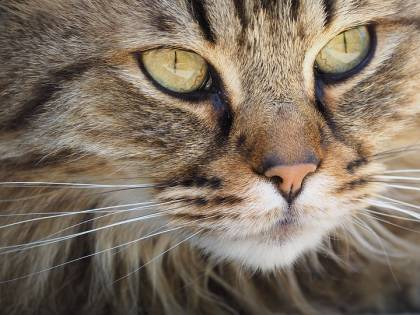 I gatti riconoscono il loro nome: lo dice uno studio giapponese