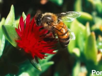 Beesexual, su Pornhub nasce il canale dedicato al sesso delle api