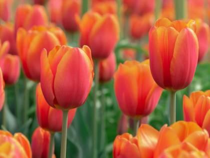 """""""Guarda dove metti i piedi"""". L'Olanda contro i selfie che calpestano i tulipani"""
