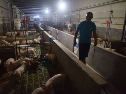 La peste suina arriva in Corea del Sud: Seul in allarme