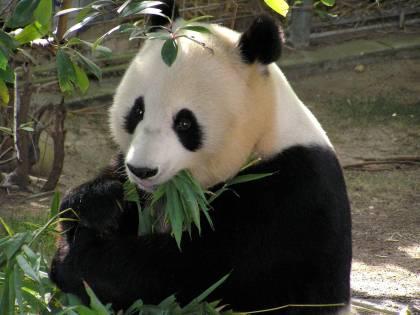 Scoperto il primo panda albino