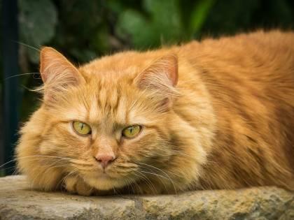 Il gatto-volpe non è una leggenda e vive in Corsica