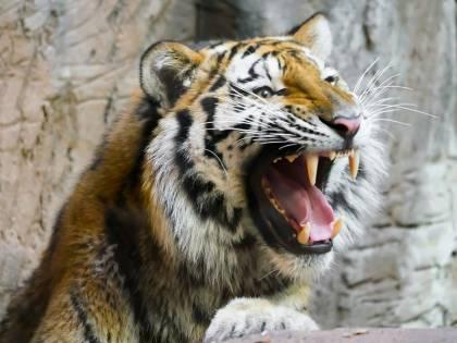 Domatore ucciso dalle tigri: intervengono le associazioni animaliste