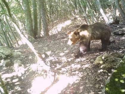 Catturato l'orso Papillon (fino alla prossima fuga)