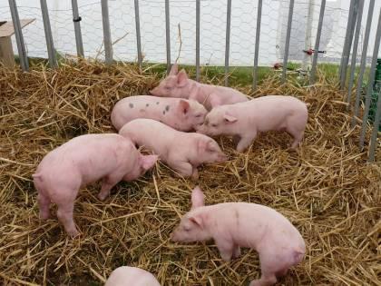 Salerno, scoperto allevamento di suini non a norma: 120 maiali dovranno essere abbattuti