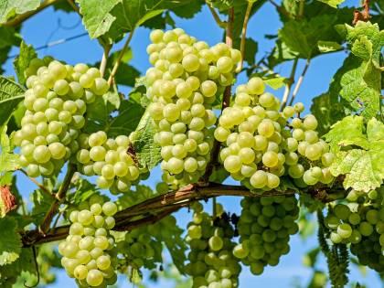 Puglia, la guerra dell'uva: i produttori italiani battono i colossi Usa