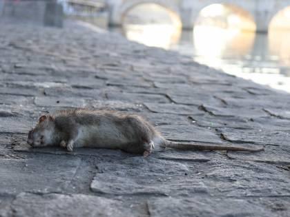 Topo morto in una scuola. Protestano i genitori dei bambini