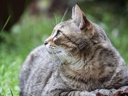 Fermo, sei gatti aggrediscono il ladro e lo fanno scappare
