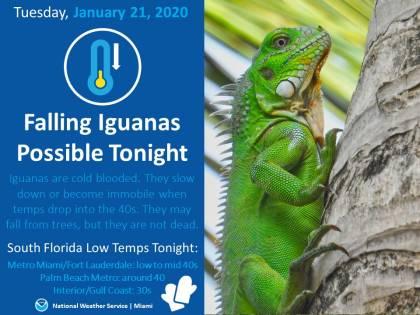 A Miami dagli alberi cadono... iguane ghiacciate