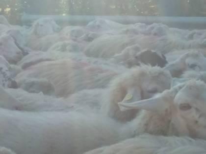 Foggia, agricoltore spara a un cane del gregge per dissidi sul pascolo