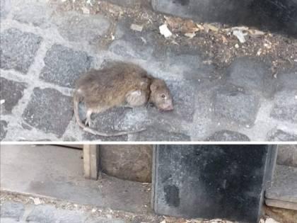 L'invasione di topi sotto la casa di Totò