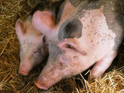 Benevento, scoperto allevamento abusivo di maiali: sequestrati 50 animali non controllati