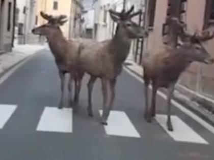 Cervi a passeggio per Villetta Barrea, Abruzzo. Gli animali approfittano delle strade vuote