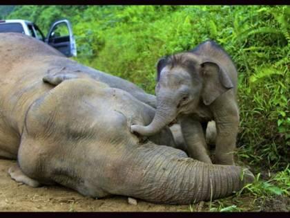 """Strage di elefanti, è giallo. """"L'ipotesi batteri non basta"""""""