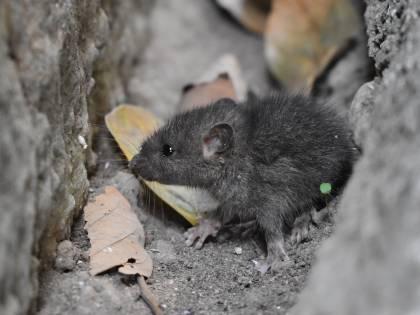 Uk, scopre un topo morto nel pollo pre-cotto che stava mangiando