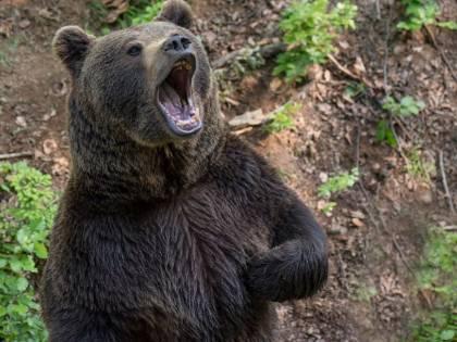 Orso sbrana il suo domatore: con la mascherina non l'ha riconosciuto
