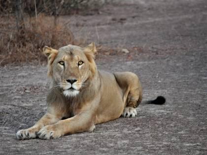 Il temerario Patterson spirito nelle tenebre che inseguiva i leoni
