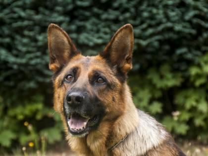 Cani anti-Covid fiuteranno le mascherine dei ragazzi