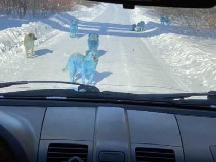 Questa foto non è ritoccata: cosa c'è dietro i cani blu?