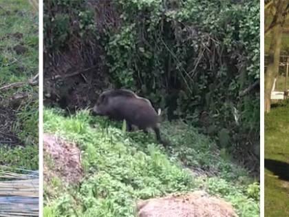 """""""Città invase di animali selvatici"""". Ma gli animalisti vogliono abolire la caccia"""