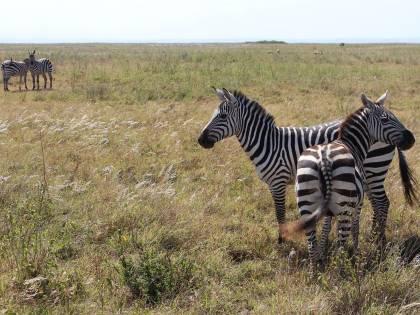 Zebre, leoni e giraffe nei nuovi quartieri strappati alla savana