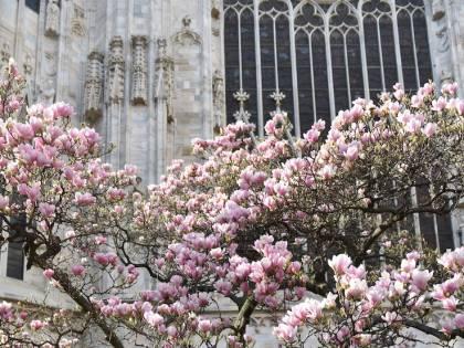 Milano in primavera è la città delle magnolie. Tour, percorsi e suggestioni