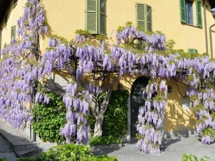 I glicini a Milano. Quando e dove vedere i più belli in fiore