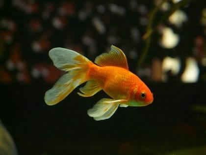 I pesci rossi non sono inoffensivi. Possono essere una bomba ecologica