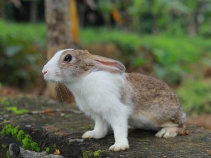 Scomparso il coniglio dei record. C'è una taglia contro i rapitori