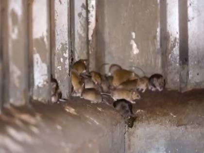 """Continua """"l'invasione di topi"""". Ora attaccano anche gli uomini"""