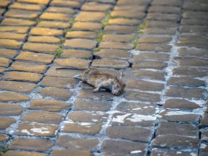 """Arriva la """"febbre del topo"""": nuovo allarme salute"""