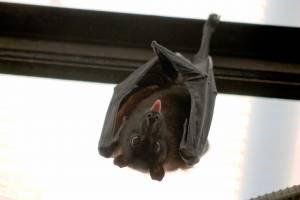 Scoperto nuovo coronavirus nei pipistrelli britannici