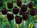 Ritratto di tulipanonero44