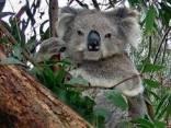 Ritratto di wombat