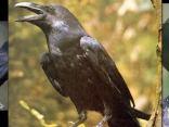 Ritratto di Il corvo