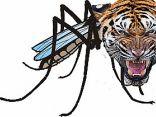 Ritratto di zanzaratigre