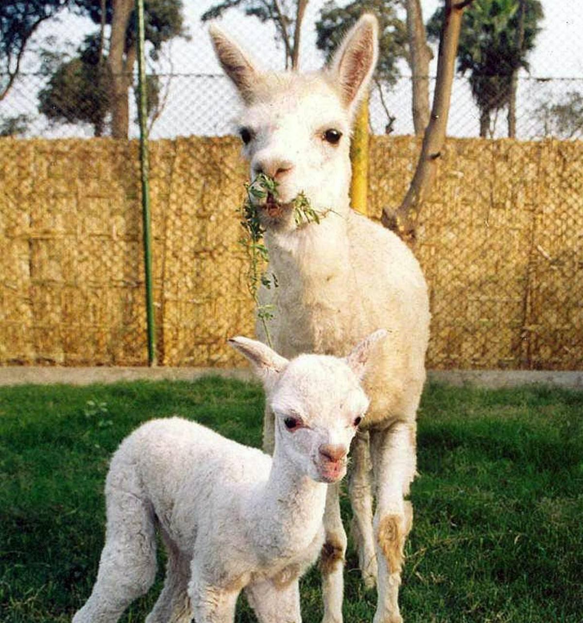 Asini e alpaca ripopolano Mele