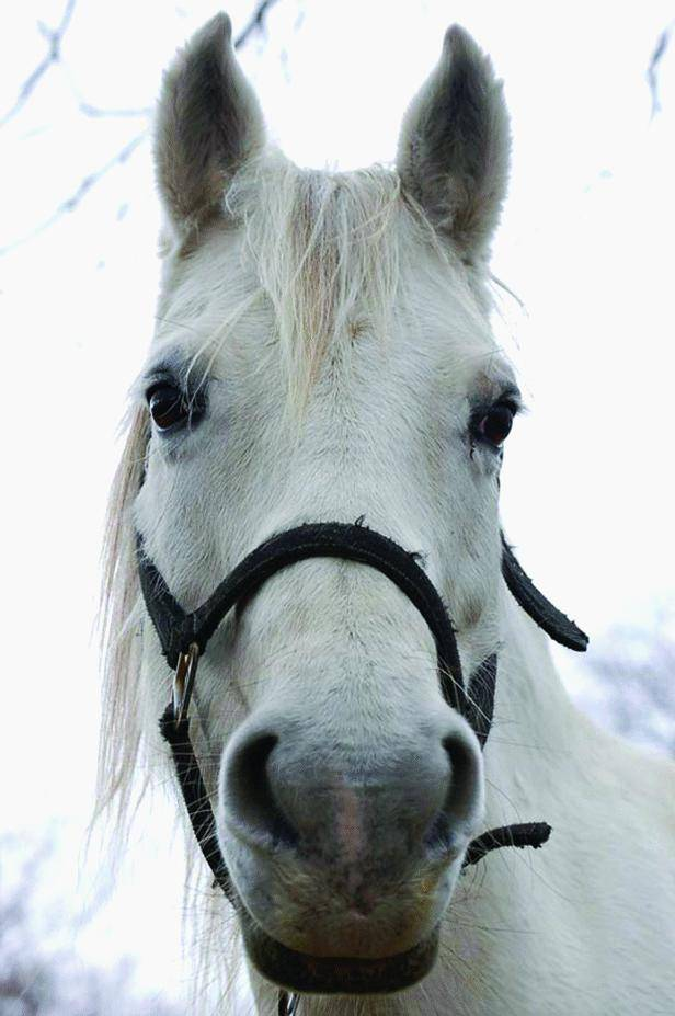 Dolceacqua, guerra ai cavalli:  «spariscono» tre purosangue
