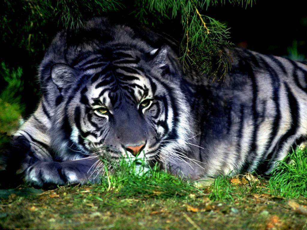 India, chiusa l'autostrada per non disturbare le tigri