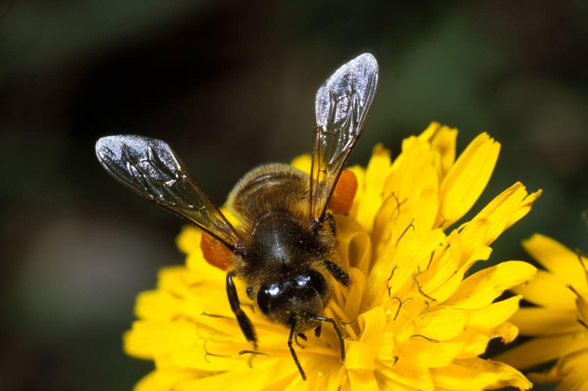 Altro che api estinte, miele da record