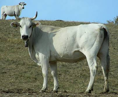 False mucche chianine: 91 denunce