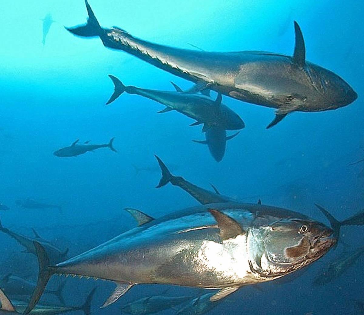 A Sestri Levante pescatori disperati: catturano tonni troppo grossi